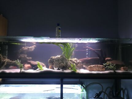 Wanted: WTB African cichlids