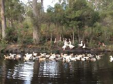 For Sale Chickens,Turkeys, and Ducks Geeveston Huon Valley Preview