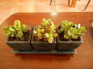 3 LITTLE POTS OF SUCCULENTS ON A TRAY