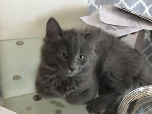 Fluffy Grey/Stripped Kitten FREE for Adoption to Forever Home!