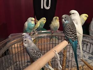 CLIPPED BUDGIES 15-20$