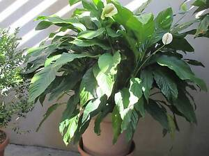 VERY LARGE Spatiphyllum - Peace Lily - 2 plants Merewether Newcastle Area Preview