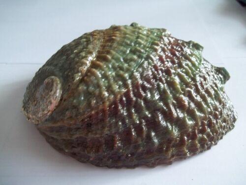 "Abalone Ruff Back Rainbow Seashell Size 6"" AO3"