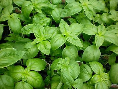 Basil Seed, Genovese, Heirloom Herb, Sweet Basil, Non-Gmo, Best For Pesto