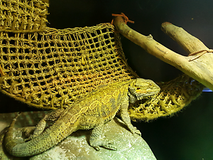Central Bearded dragon plus tank Kambah Tuggeranong Preview