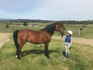 Pure Arab Gelding Carrick Meander Valley Preview