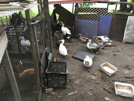 Chickens and Ducks for sale