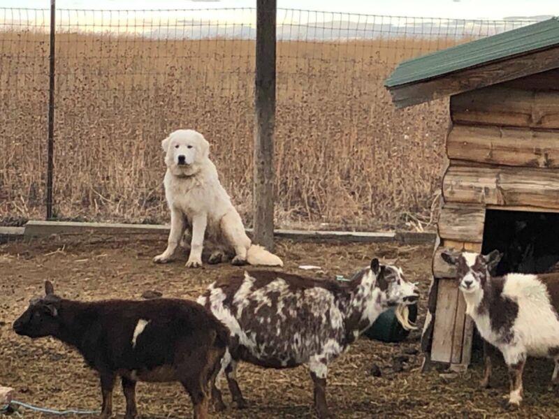 Colorado Mountain Dog puppies (LGD)