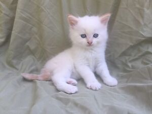 Ragamuffin Ragdoll male kitten FLAME POINT