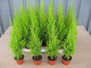 8 x Cupressus Wilma Goldcrest/Golden Evergreen Conifer 8cm Pot