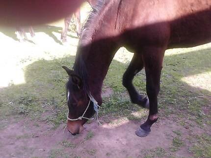 Arabian type filly 2 and a half years old