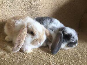 Purebred Female minilop Rabbits Pitt Town Hawkesbury Area Preview