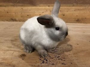 Holland Lop Cross Bunnies