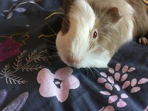 Four Adorable Guinea Pigs For Sale Wamberal Gosford Area Preview