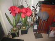 plants false red flowers Redcliffe Redcliffe Area Preview