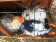 Rabbits for sale Adelaide CBD Adelaide City Preview