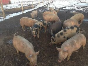 Pigs for Sale, Weaners, Feeders, Butcher Hogs