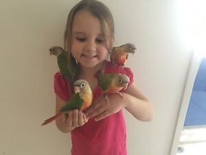 Christmas Special **Pineapple Conures ** North Tivoli Ipswich City Preview