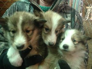 Rough collie Shepard cross pups