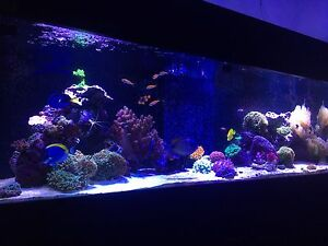 Reef Tank fish and corals Bellara Caboolture Area Preview