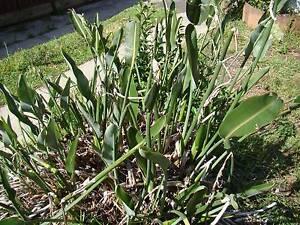 free bird of paradise plant strelitzia reginae Ashfield Ashfield Area Preview