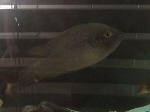 Jewel fish Stockton Newcastle Area Preview