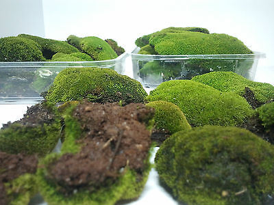 ***LIVE MOSS WHOLESALE PACK***