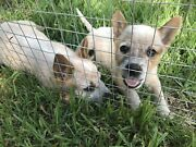 Pure Cattle dog Puppies Largs Maitland Area Preview