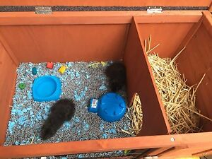 2 beautiful Male Guinea Pigs 10 weeks old with hutch & all Cleveland Redland Area Preview