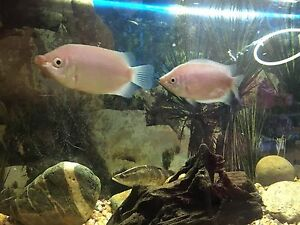 Kissing gourami tropical fish for sale Beenleigh Logan Area Preview