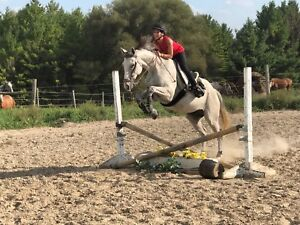 9 yr. Thoroughbred Gelding - 16.1H - for lease/part-board