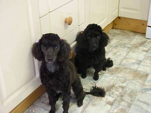 Female Miniature Poodle Gunnedah Gunnedah Area Preview
