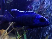 Male electric blue/peacock Padstow Bankstown Area Preview