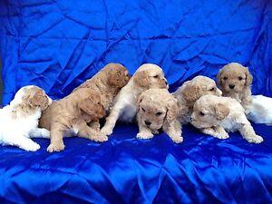 Cavachon puppies Holmview Logan Area Preview