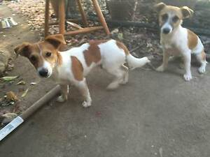 jack russell pups Ormeau Gold Coast North Preview