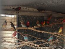 Finches orange breast pair Baldivis Rockingham Area Preview