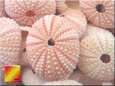 24 Pink Sea Urchin Seashells Shells Beach Wedding Craft Nautical Decor - Nautical Wedding Decor