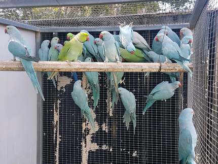INDIAN RINGNECK SELLOUT
