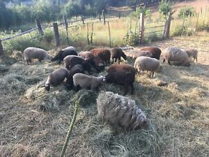 16 sheep for sale.