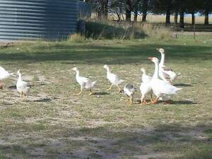 Geese for sale Inverell Area Preview