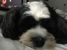 WANTED - Small Puppy Alexandra Hills Redland Area Preview