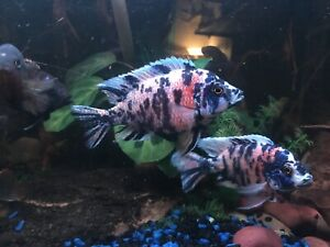 Hundreds of mixed cichlids too many to list