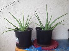 Free aloe vera baby plants.., Hurstville Hurstville Area Preview