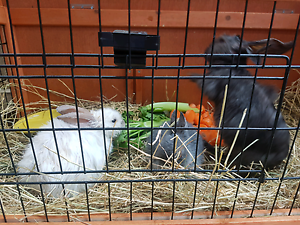 2 rabbits and 1 dwarf rabbit plus double story hutch Fawkner Moreland Area Preview