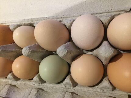 Mixed Fertile Eggs