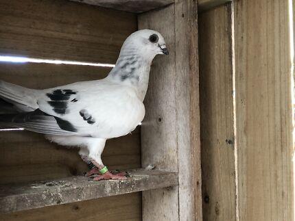 Damascene pigeons for sale