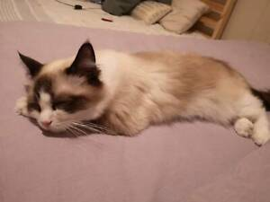 British shorthair  and 4  ragdoll  looking for boys copulation