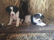 Border collie x puppies Boonah Ipswich South Preview