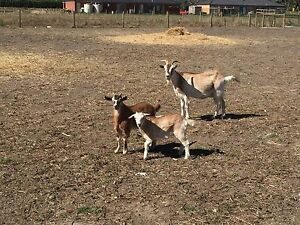 Goats For Sale Whittlesea Whittlesea Area Preview