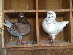 King pigeons Glenroy Moreland Area Preview